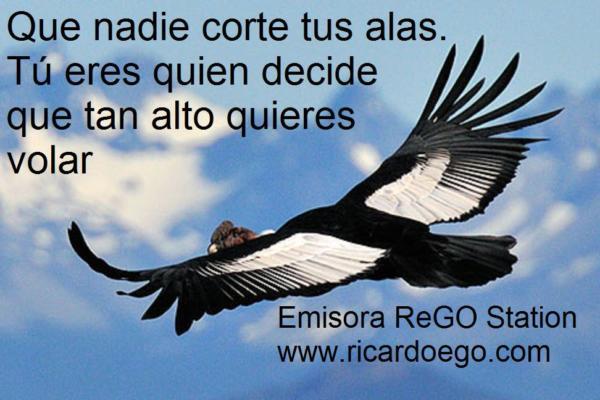 Male Andean Condor (Vultur gryphus) in flight
